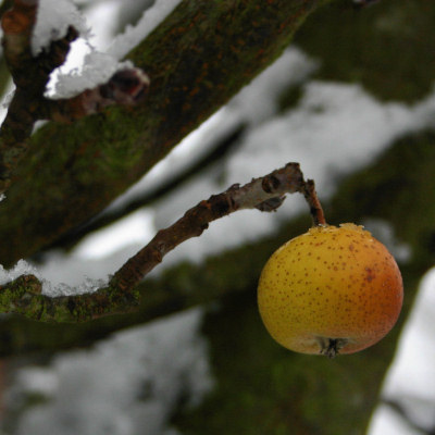 snow1apple.jpg